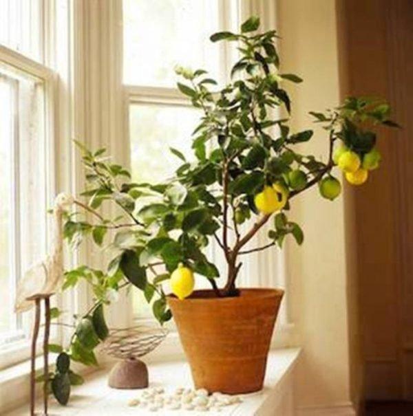 lemon tree decoration