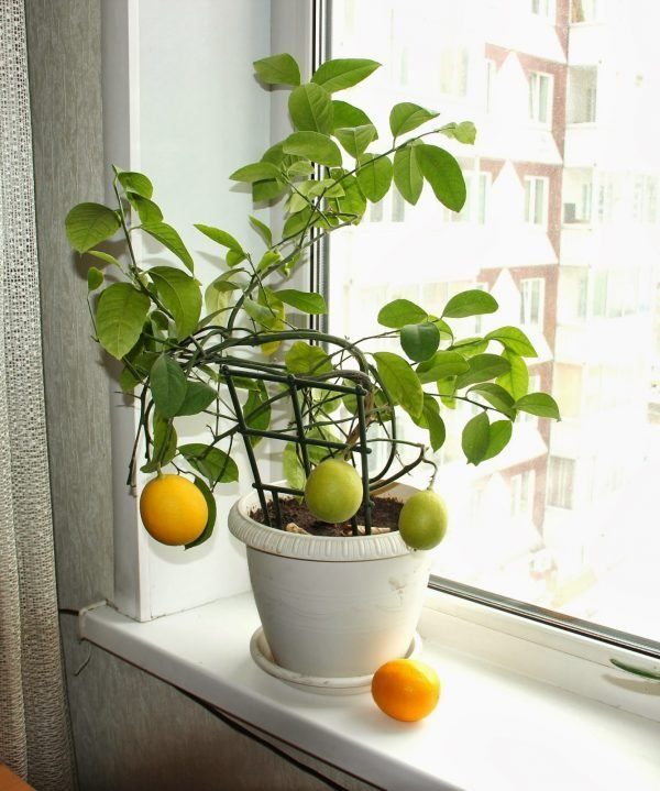 small lemon trees