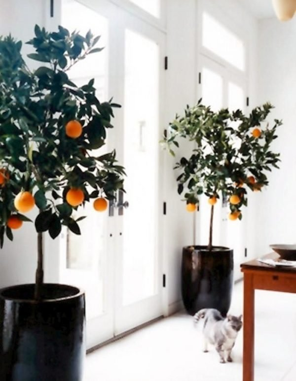 lemon trees indoors