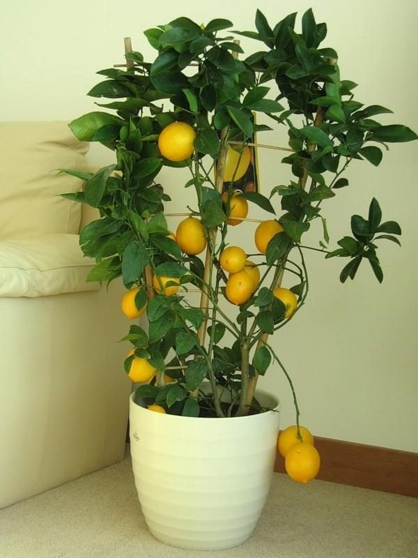 grow a lemon tree