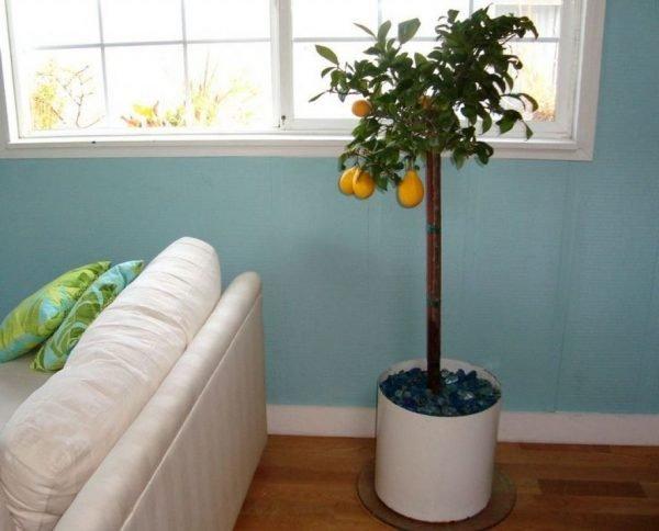 lemmon tree
