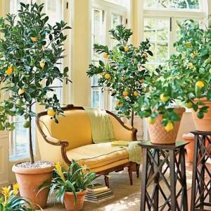 Home decor: Indoor lemon trees