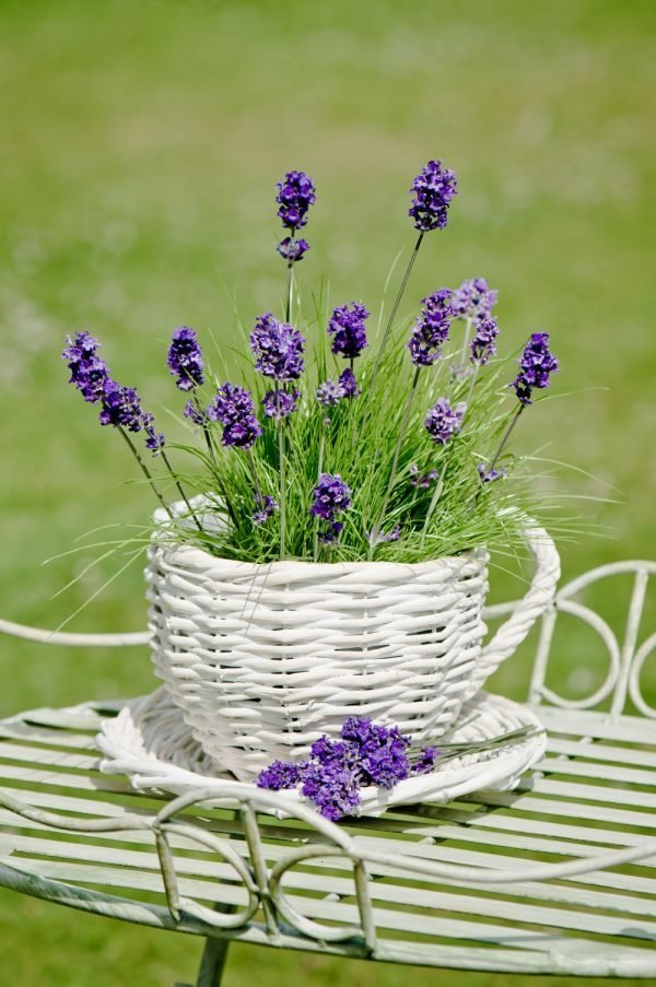 caring for lavender plants in pots