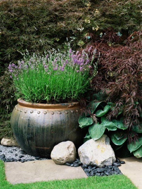 growing lavender in pots outside 1