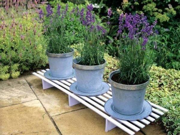 growing lavender in pots outside
