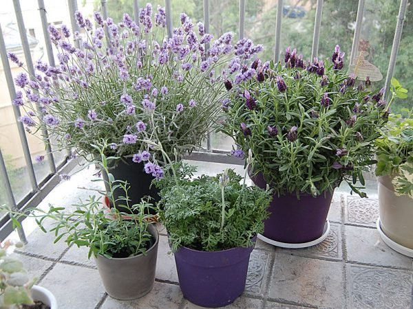 growing lavender in pots
