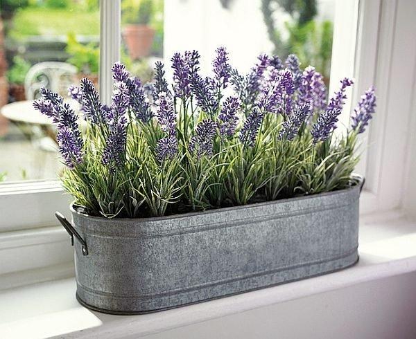 lavender indoor plant