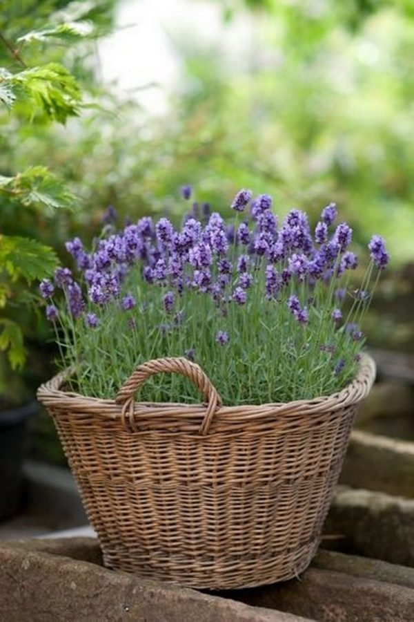 Planting lavender in pots little piece of me - Growing lavender pot ...
