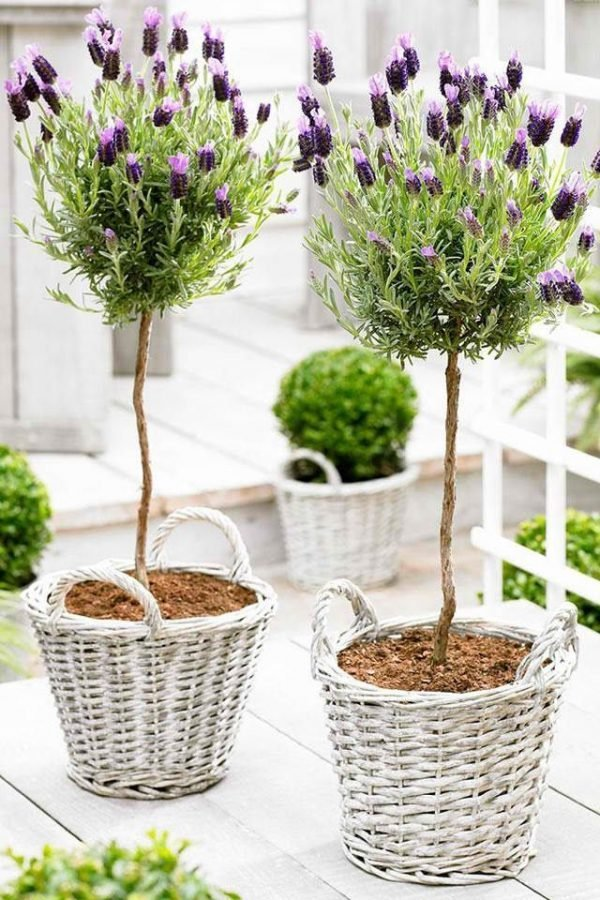 lavender trees in pots