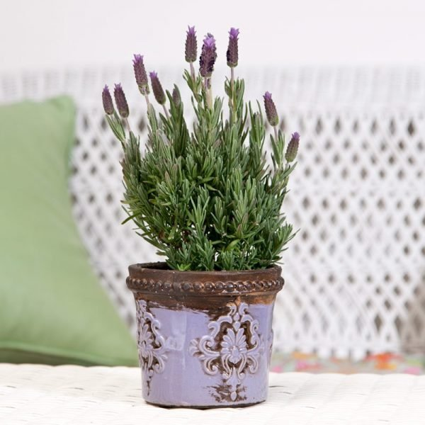 lavender plant in pot
