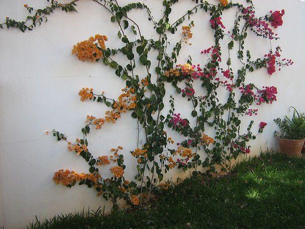 colourful climbing plants