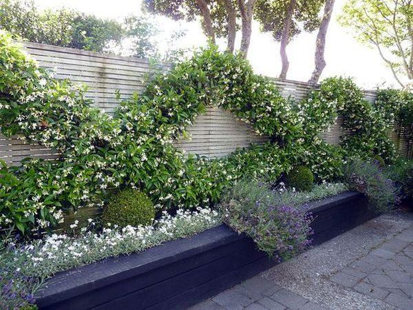 jasmine climbing plant