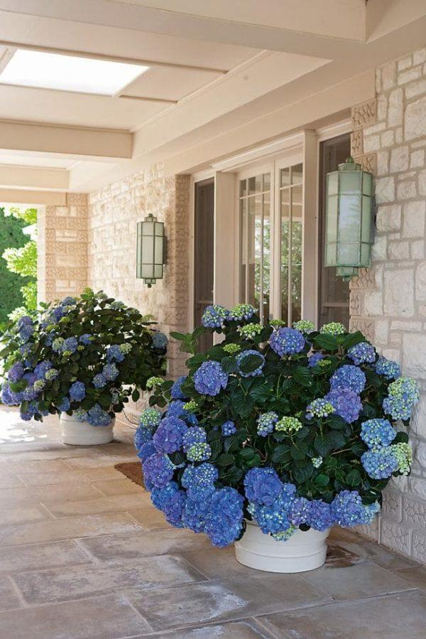 planting hydrangeas in pots