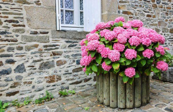 hydrangea container garden