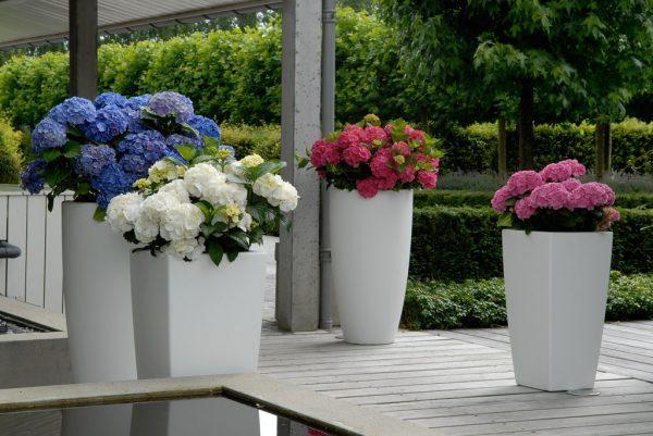 hydrangea in pots