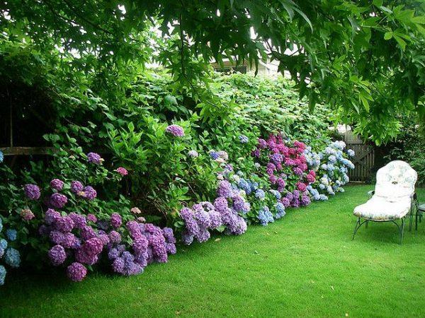 hydrangea front yard