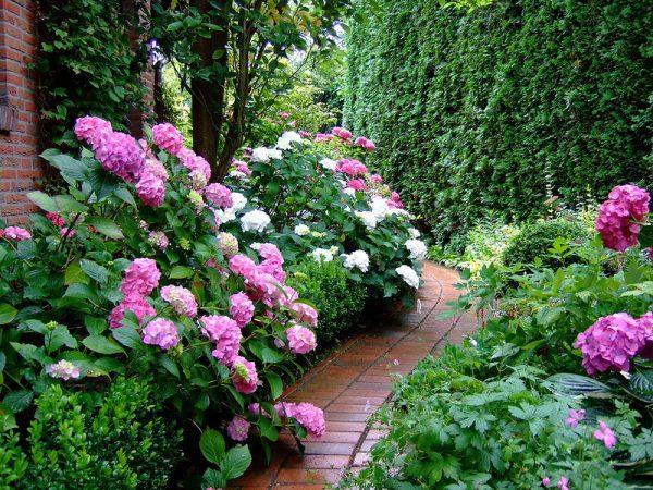 hydrangea planting ideas