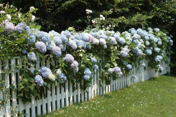 planting hydrangeas outside