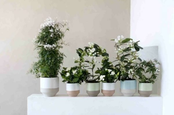 aromatic indoor plants
