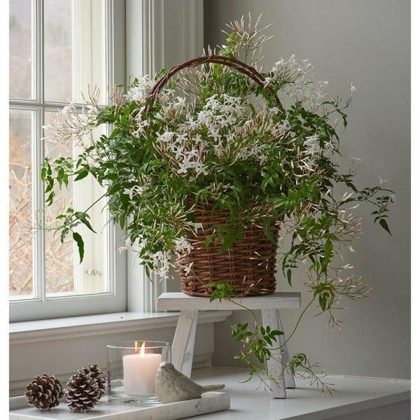 indoor jasmine