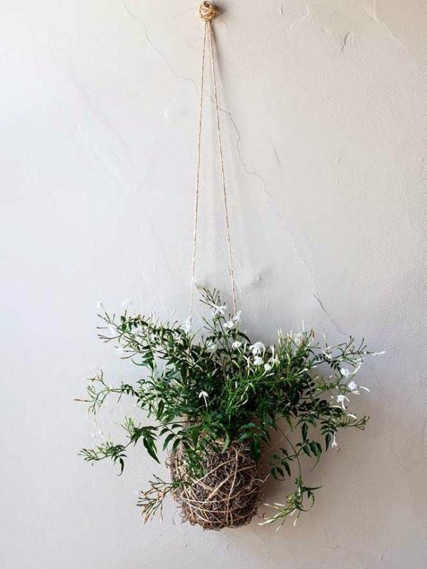 growing jasmine