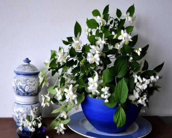 most fragrant jasmine