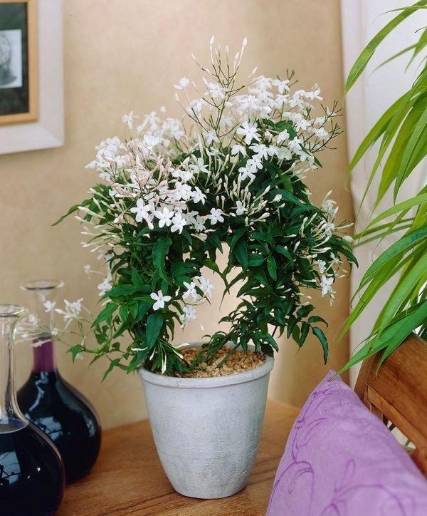 jasmine plant perennial