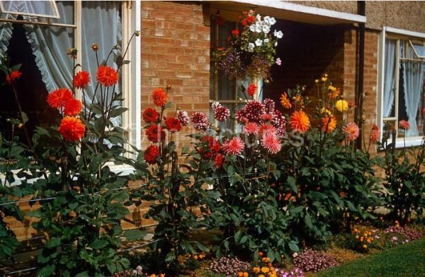 dahlia garden ideas