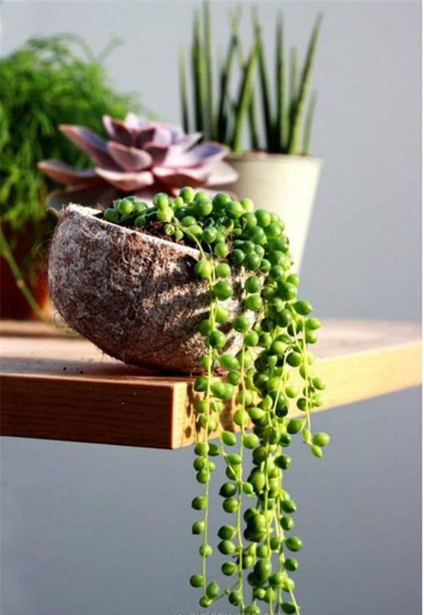 string of beads succulent