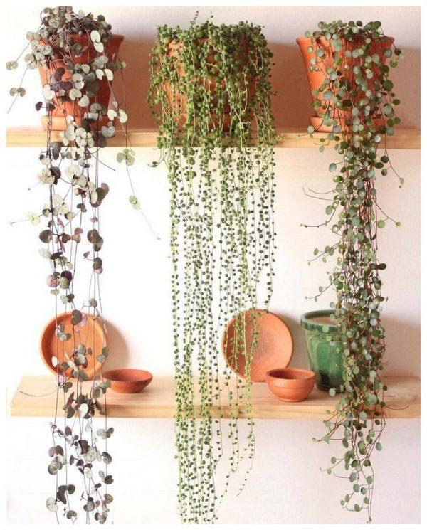 string of pearls succulent
