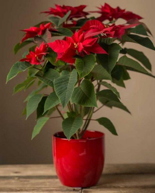 Christmas Star Flower