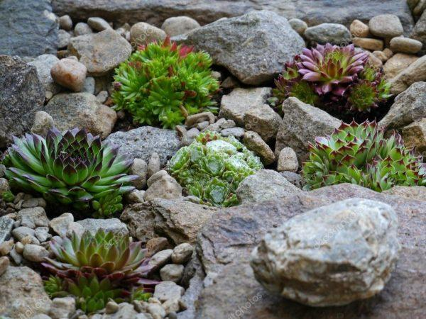 succulents with rocks