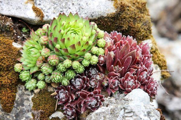 succulent plants rock gardens