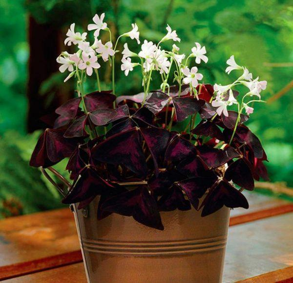 oxalis plant care