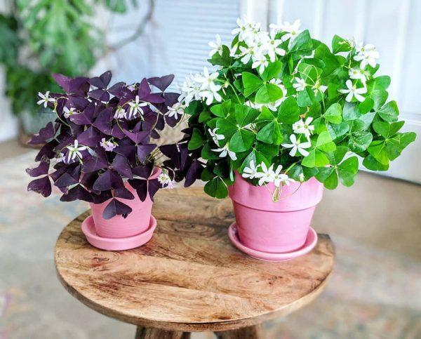 Oxalis: A decorative clover that brings good luck