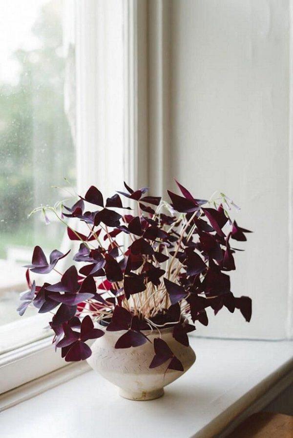 oxalis houseplant