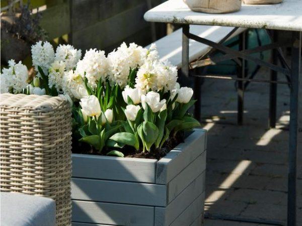 white hyacinth bulbs