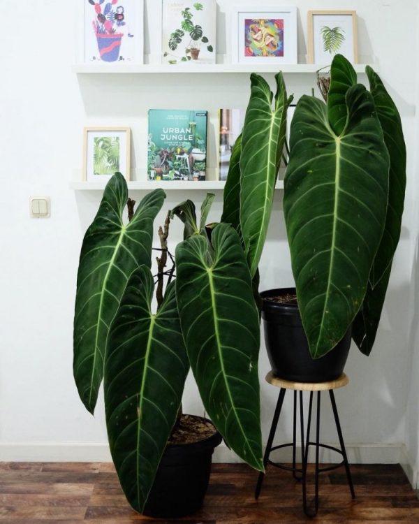 large leaf tropical plants