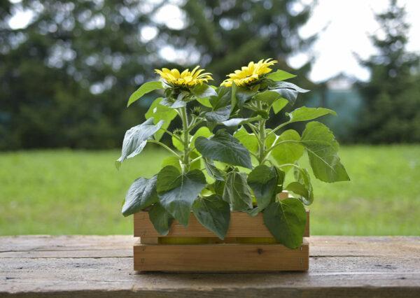 Sunflower planter ideas