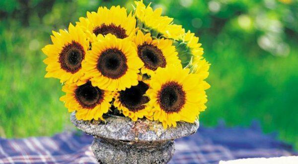 small sunflower plant