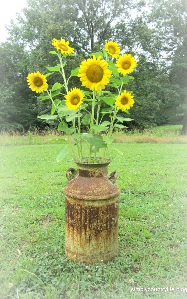 how to grow sunflower at home