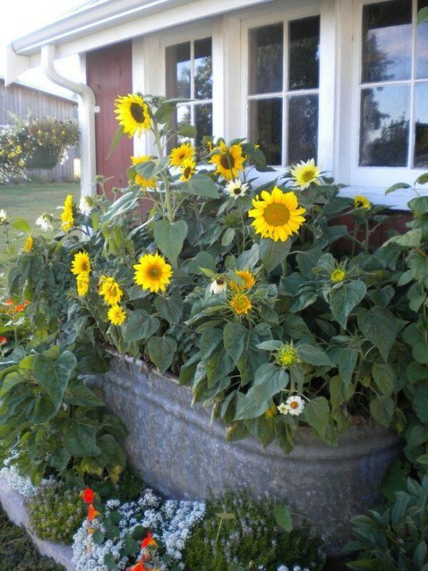 dwarf sunflowers in pots