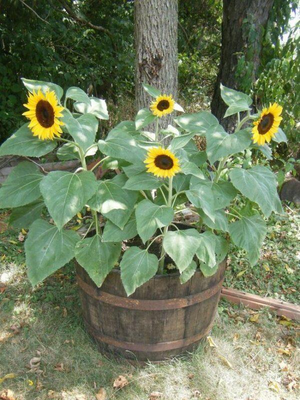 growing sunflowers in pots
