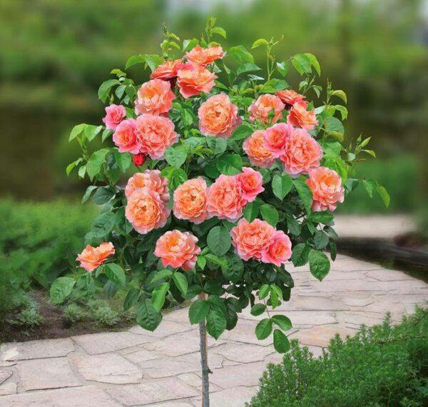 autumn flowering roses